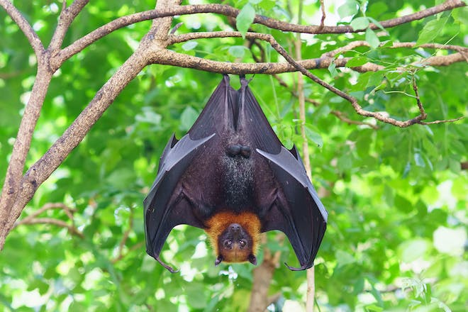 Fruit bat hanging from tree in jungle