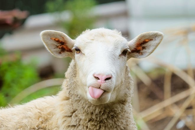 Sheep sticking its tongue out