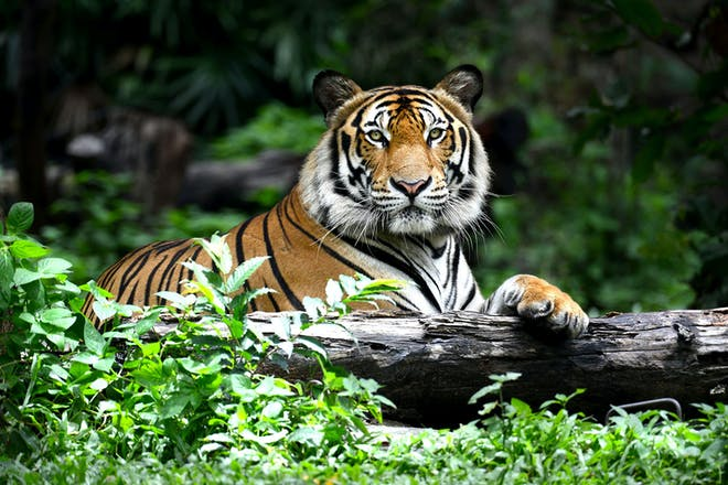 Bengal tiger lying on a log in jungle