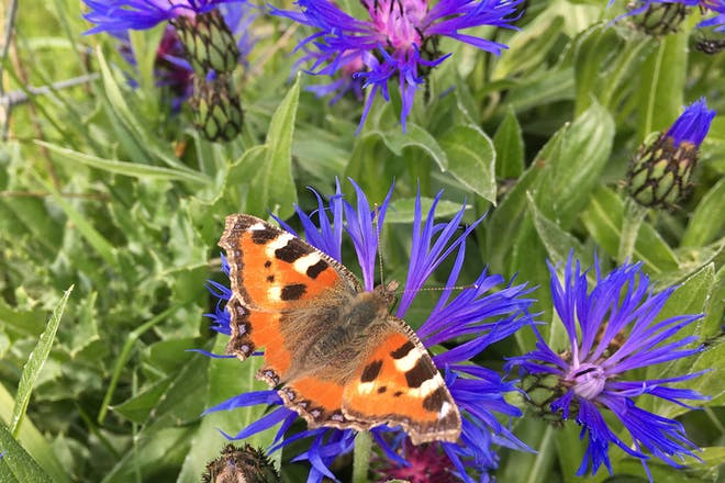 A red admiral butterfly on wildflowers