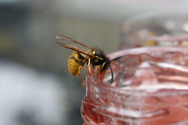 Wasp on jam jar