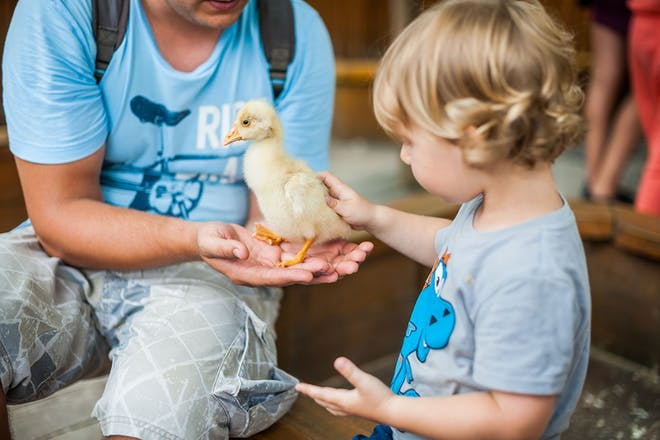 Toddler petting duckling at zoo