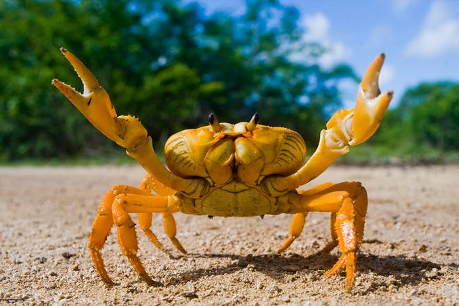 Yellow crab on beach with two front pincers in air
