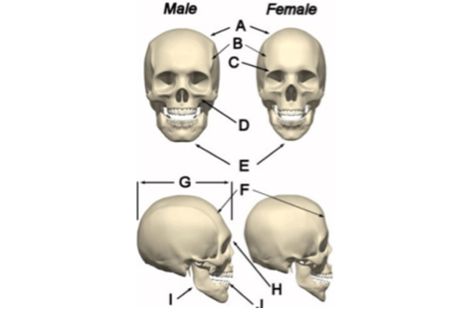 Male and female skulls to show skull theory