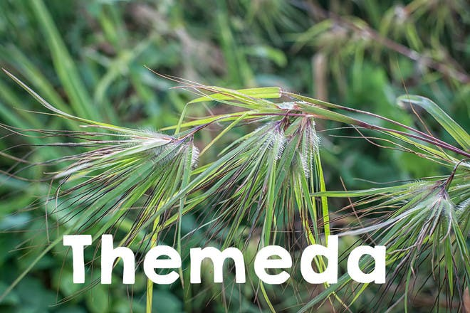 Themeda