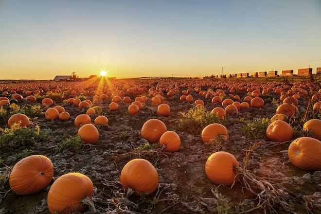 Pumpkin patch field at sunset