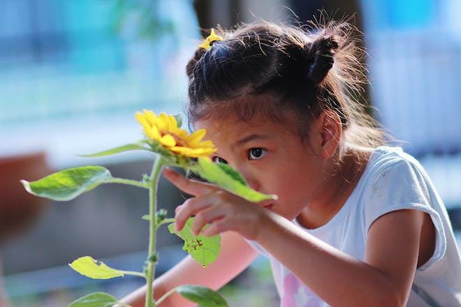 Little girl growing a sunflower in her garden