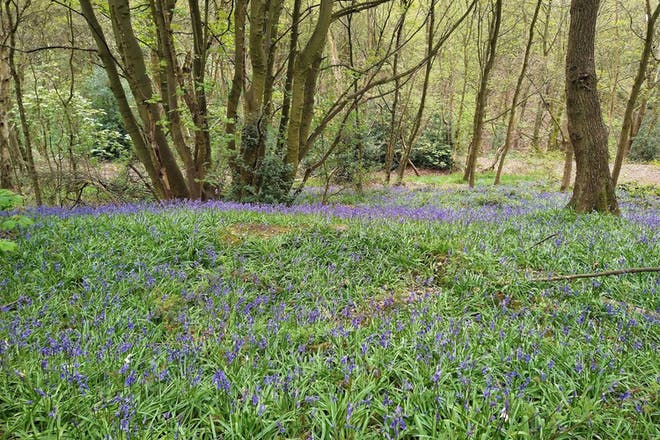 Bluebells at Oakwell Hall Country Park