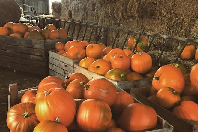 Pumpkins at Cattows Farm