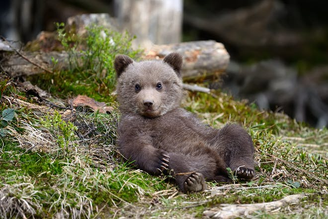 Baby bear lying backwards