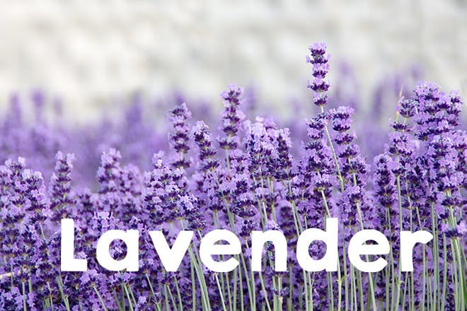 18. Lavender