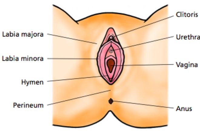 Illustration to show where perineum is