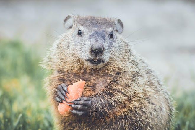 A woodchuck eating a carrot