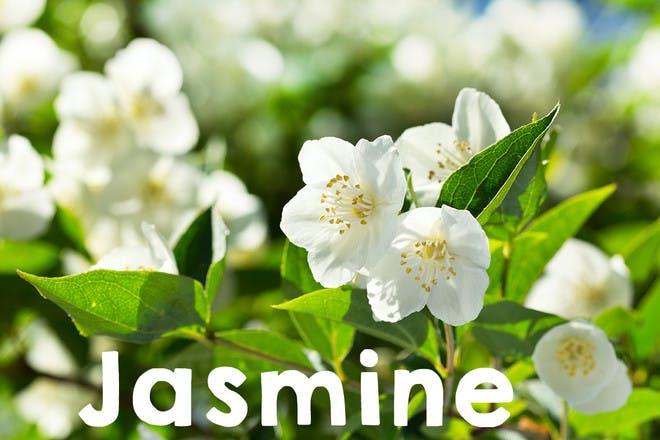 16. Jasmine