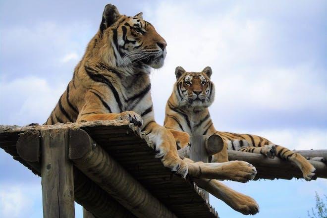 Wingham Wildlife Park tigers