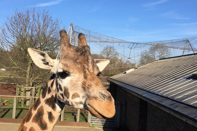 Up close with a giraffe: zookeeper experience at ZSL London Zoo