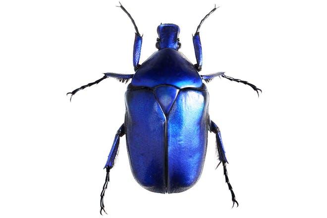 Jewellery beetle on white background