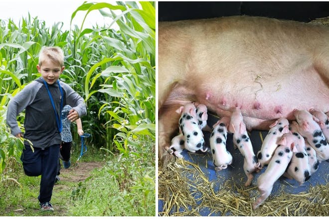 Boy running through maize field, pig with piglets