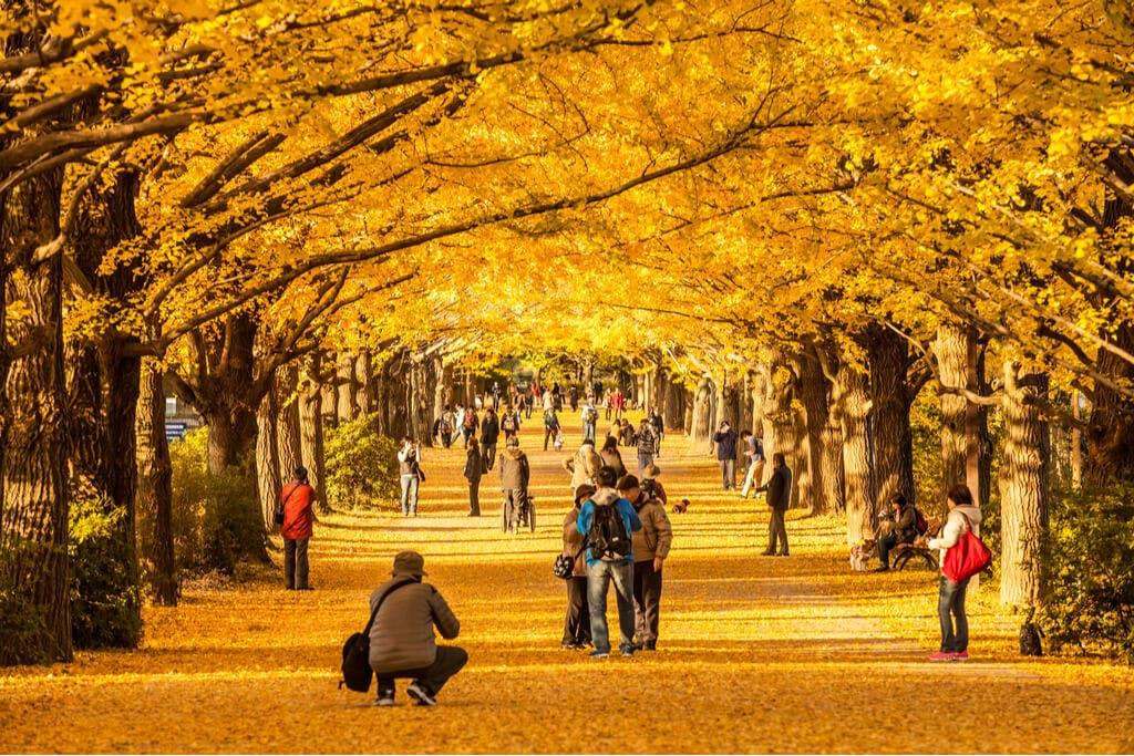 An arch of fall trees with yellow leaves and many people talking and taking pictures underneath