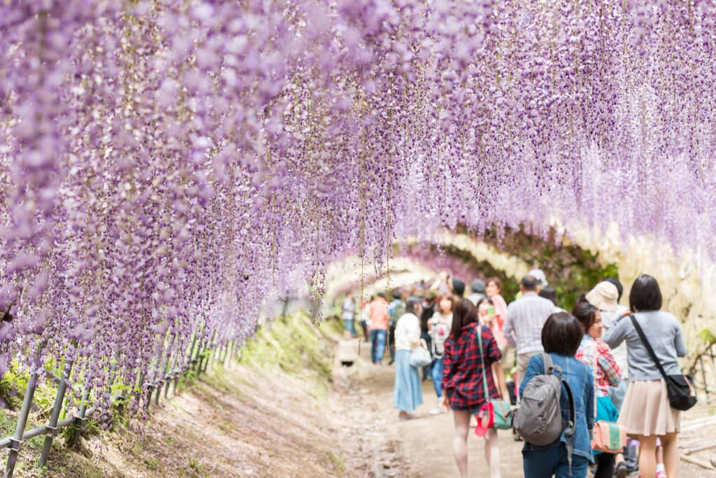 People walk under the famous wisteria arches of Fukuoka