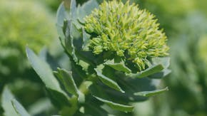 What are the benefits of Rhodiola rosea for ED?