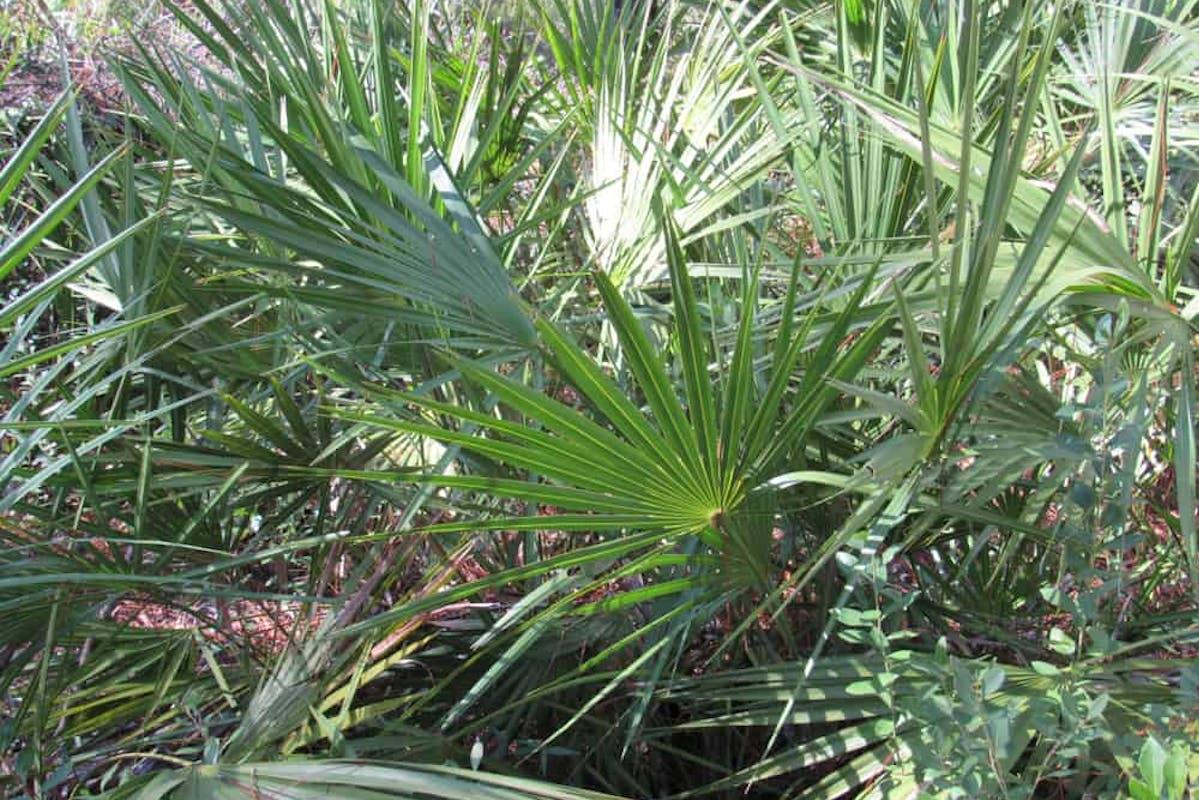 Saw palmetto male to female