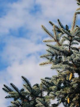 close up Christmas tree with blue sky
