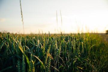 green wheat crop