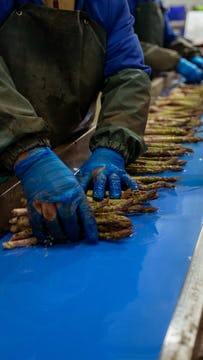 asparagus in the process of being packed