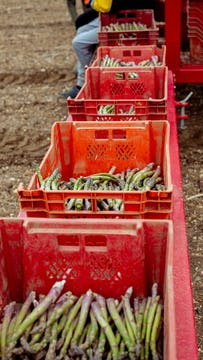 containers aligned filled with freshly picked asparagus