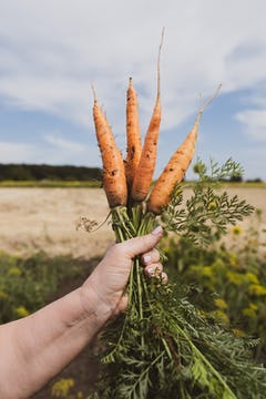 A hand holding 4 carrots, freshly picked from the ground.