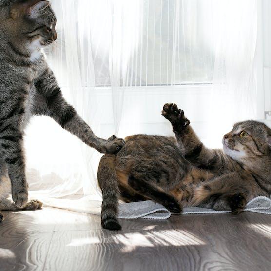 貓咪打架怎麼辦?
