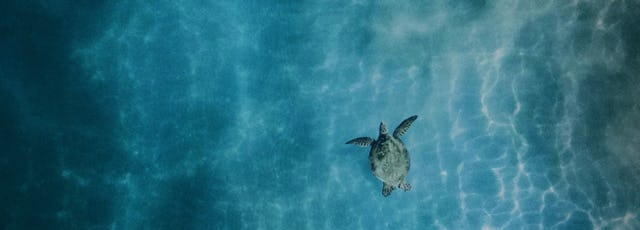Photo of a sea turtle swimming in calm ocean waters