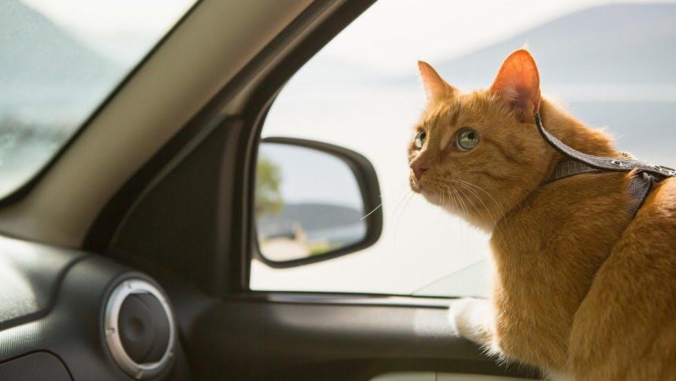 Chat dans une automobile sur le siege passager