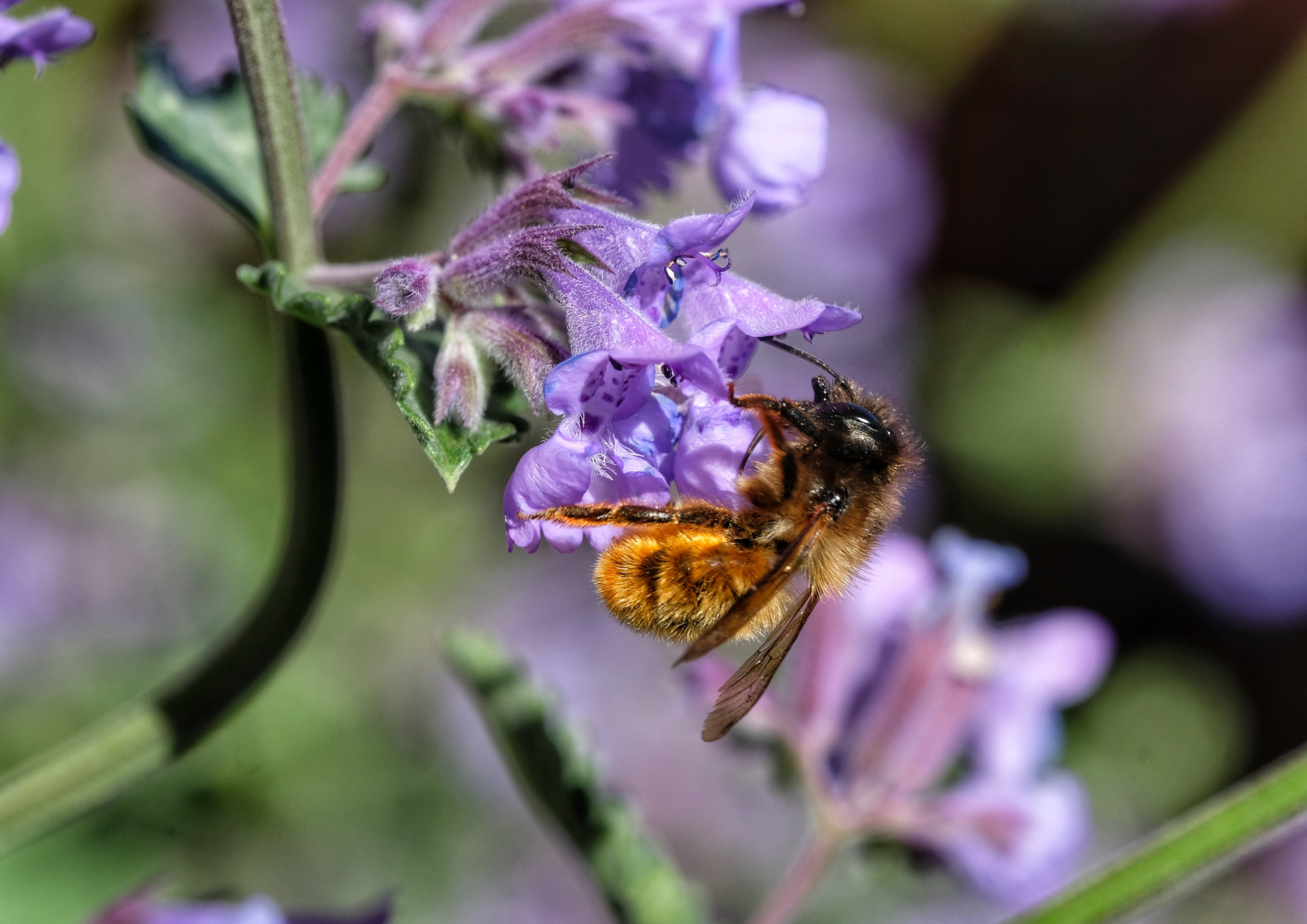 Image of bee pollinating a purple flower