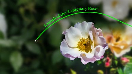 NI Centenary Rose