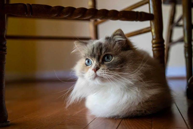 Napoleon Minuaet Cat