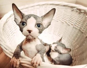 Sphynx - hairless cats