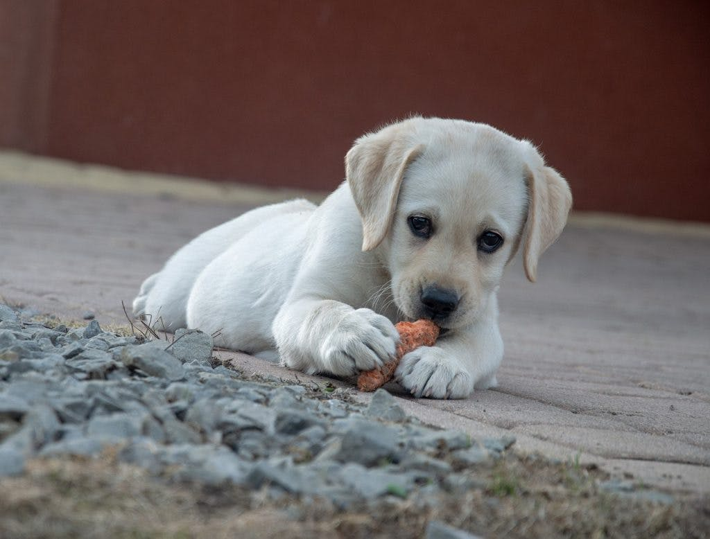 The Benefits of Grain and Chicken Dog Food for Your Puppy
