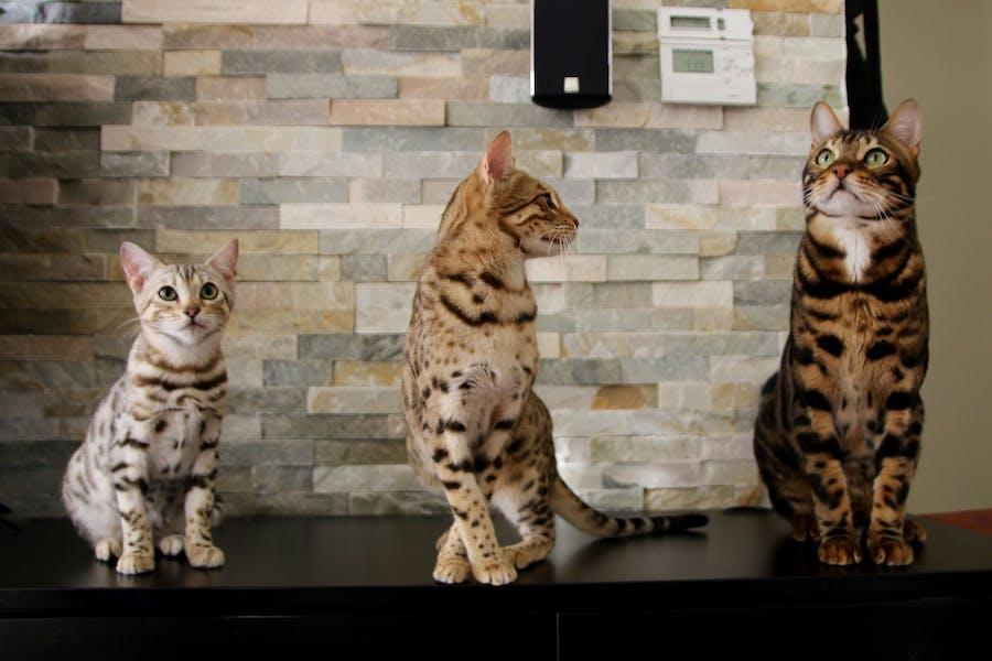 3 Bengal Cats
