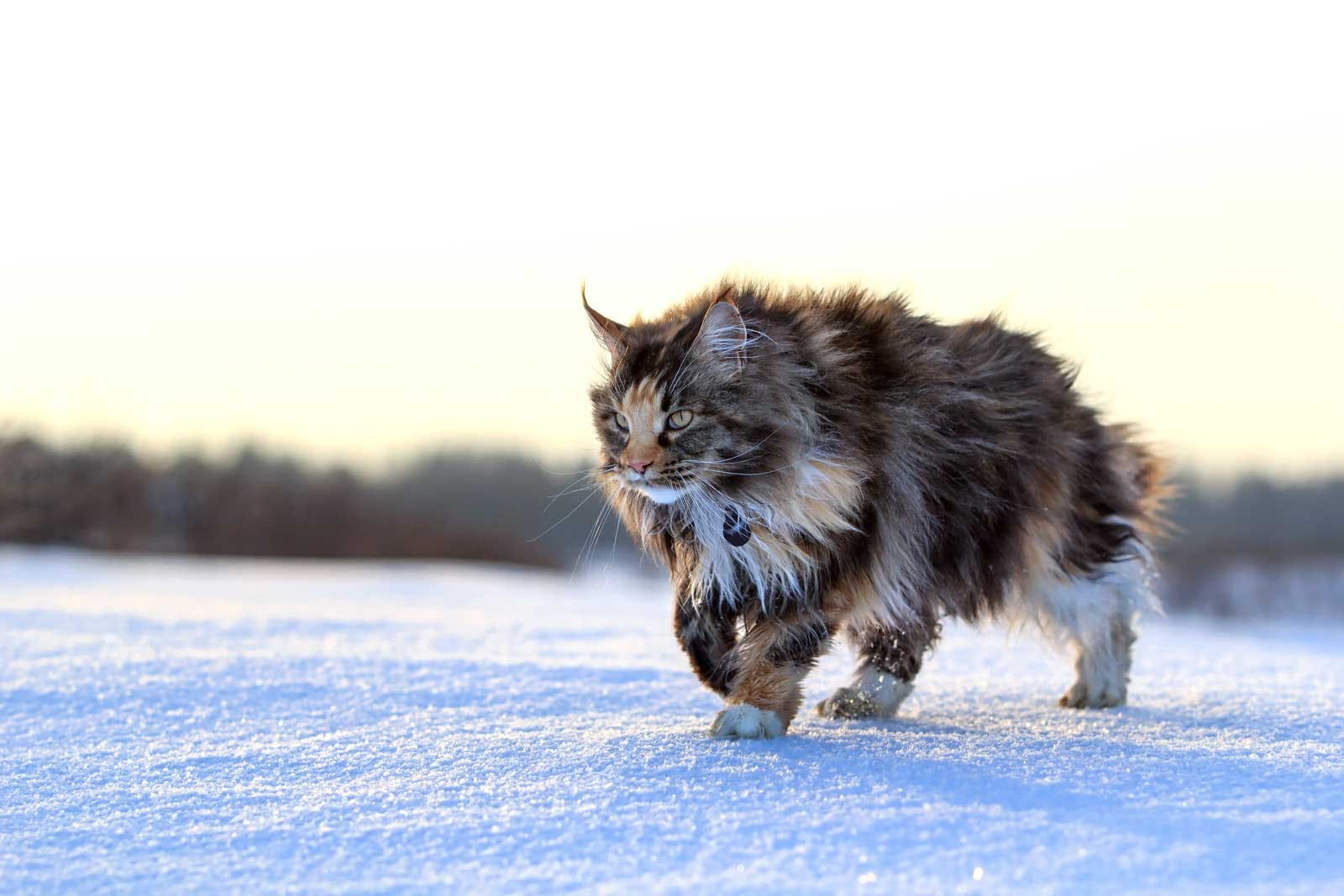 Giant Main Coon in the snow