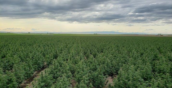 large scale hemp field