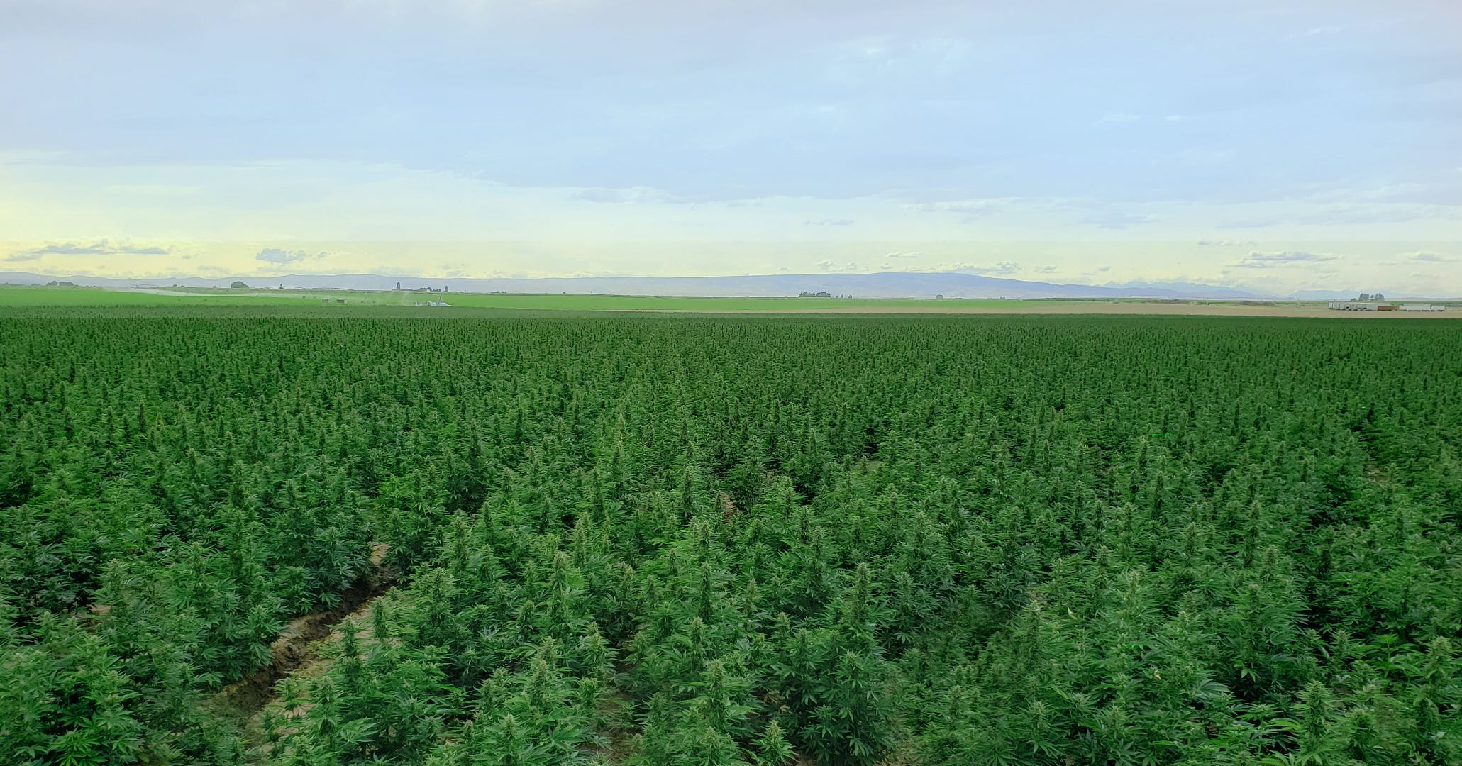 AutoCBD hemp field