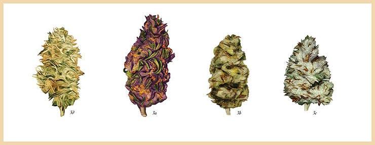 Illustration of Cannabis Strains