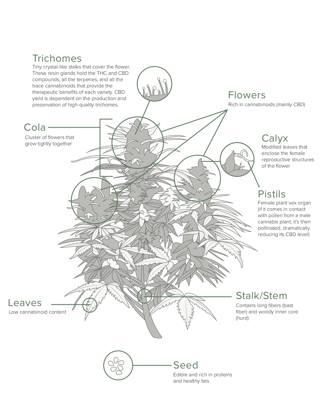 detailed hemp illustration