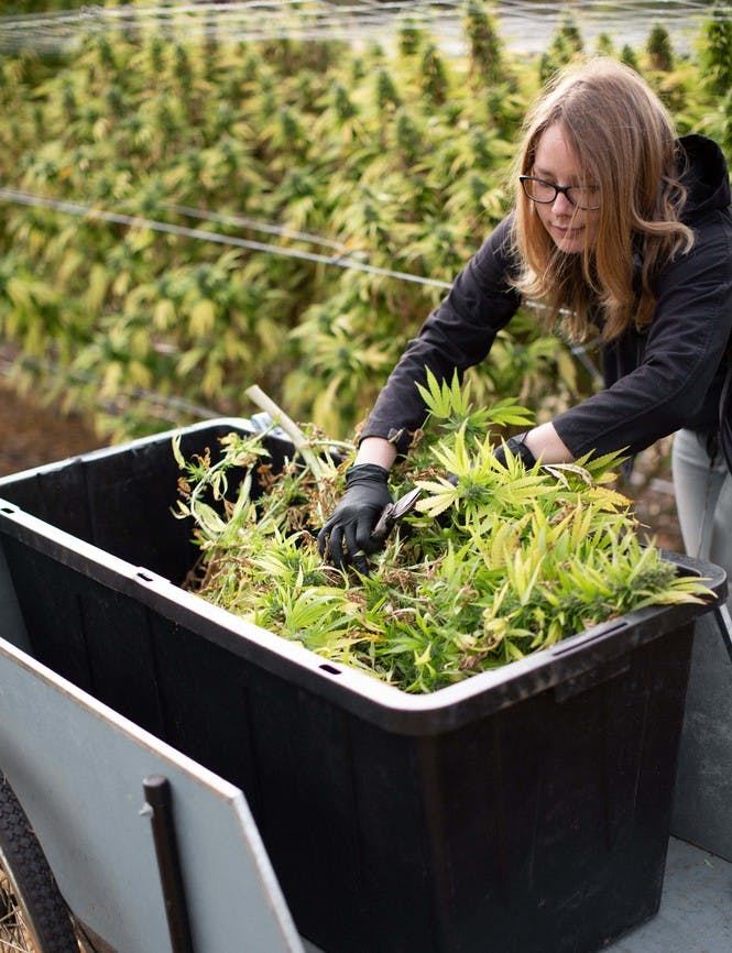 Woman trimming plants in a bin