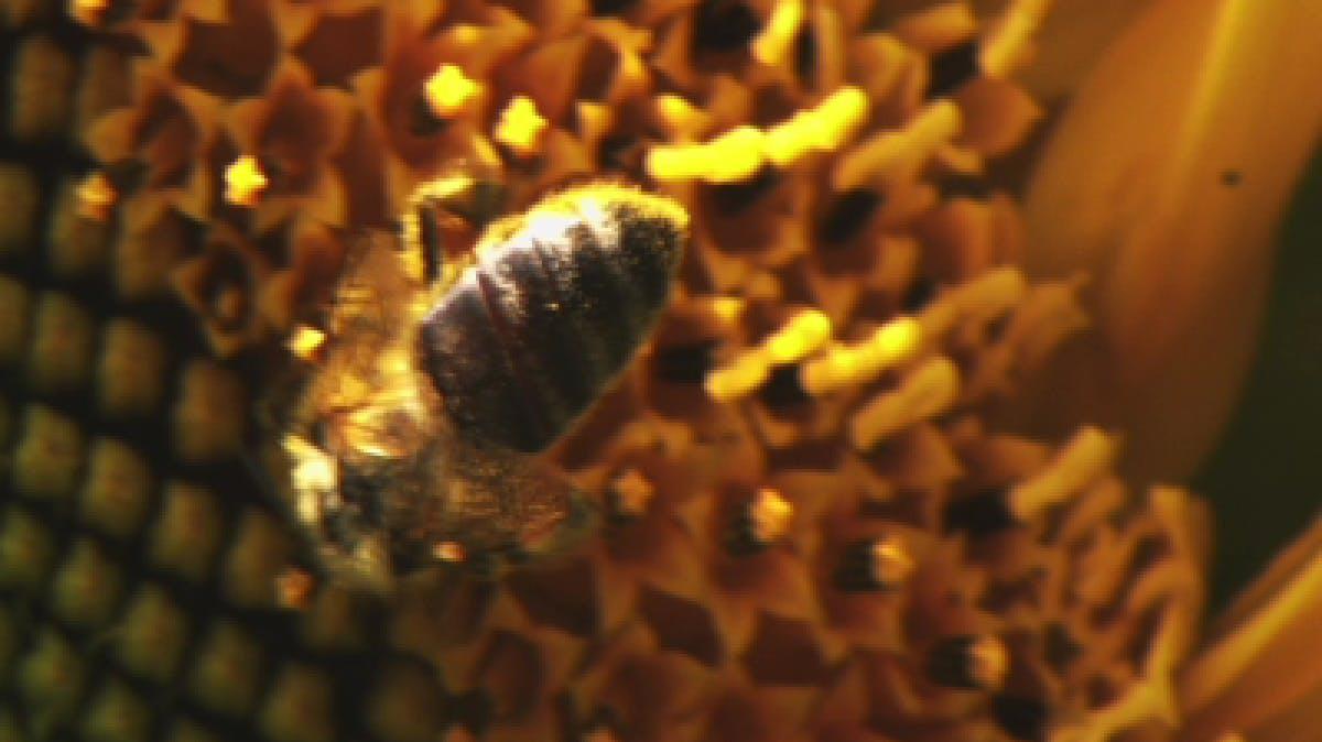 Closeup of honeybee