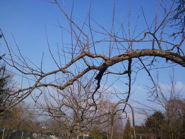 Ceci est une branche fruitière, on va faire en sorte qu'elle se dirrige toujours à l'extérieur
