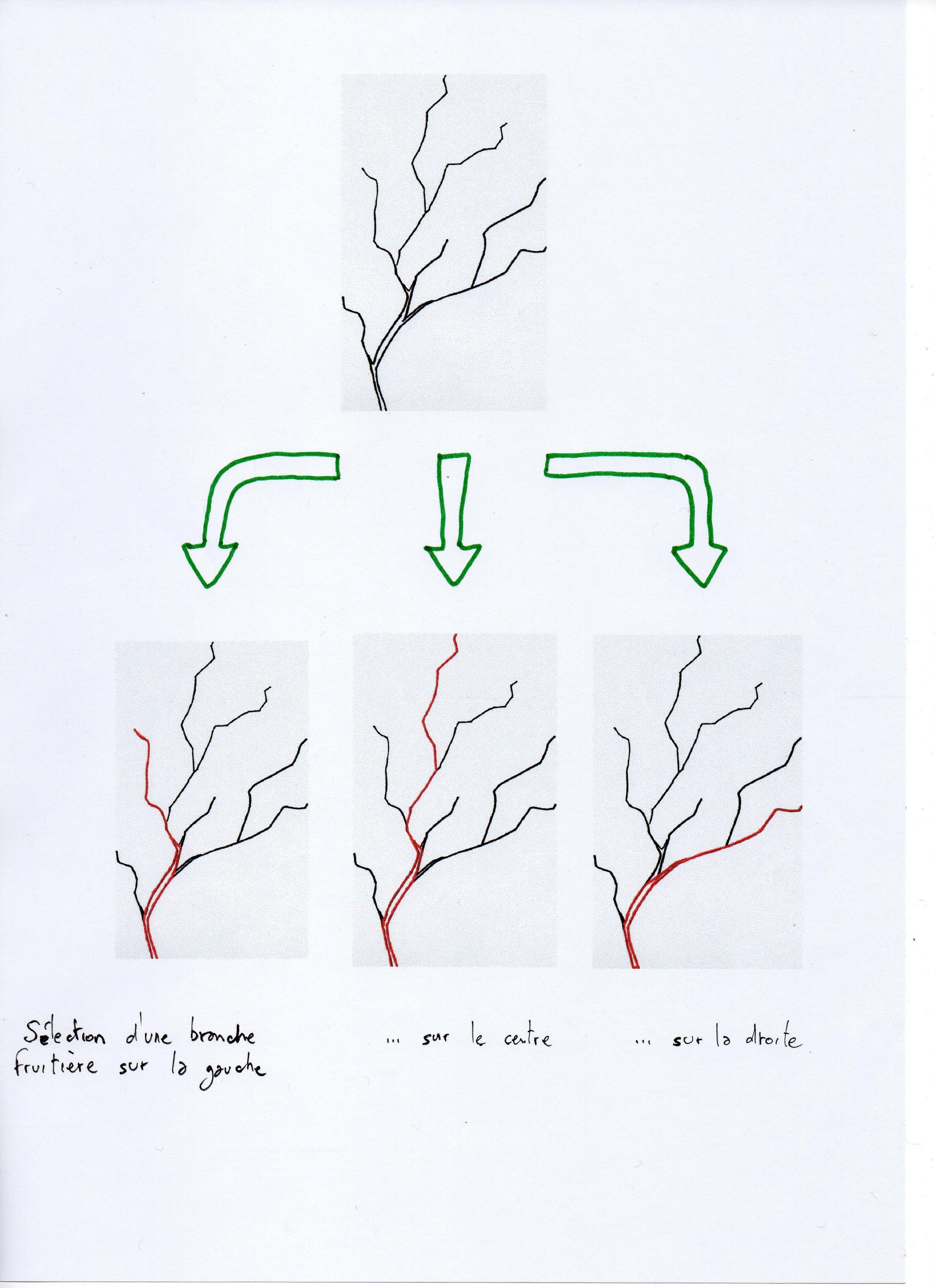 Optimiser la distribution spatiale des branche fruitière