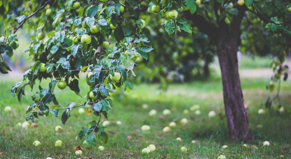 Beskära äppelträd - så här gör du